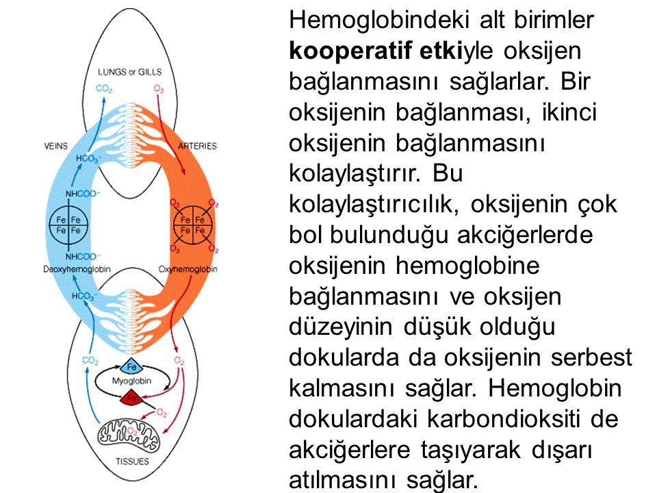 Hemoglobindeki alt birimler kooperatif etkiyle oksijen bağlanmasını sağlarlar.