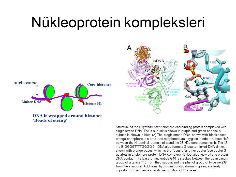 Nükleoprotein kompleksleri