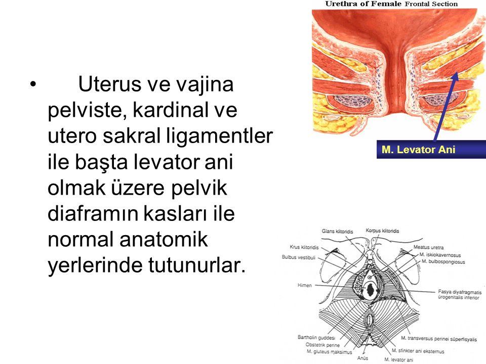 Uterus ve vajina pelviste, kardinal ve utero sakral ligamentler ile başta levator ani olmak üzere pelvik diaframın kasları ile normal anatomik yerlerinde tutunurlar.