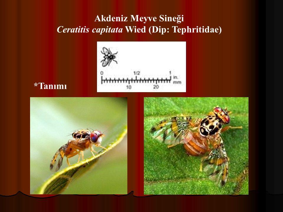 Ceratitis capitata Wied (Dip: Tephritidae)