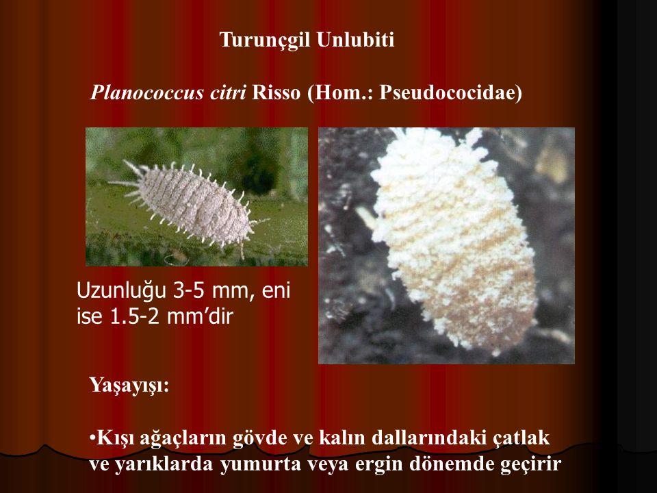 Planococcus citri Risso (Hom.: Pseudococidae)