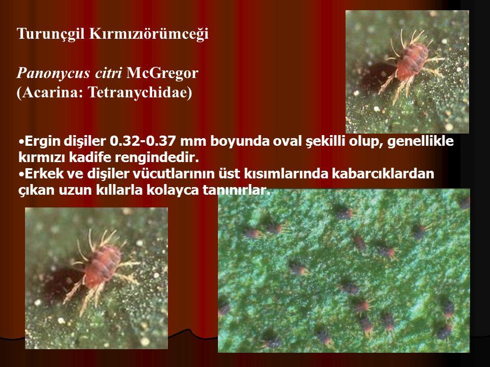 Turunçgil Kırmızıörümceği Panonycus citri McGregor
