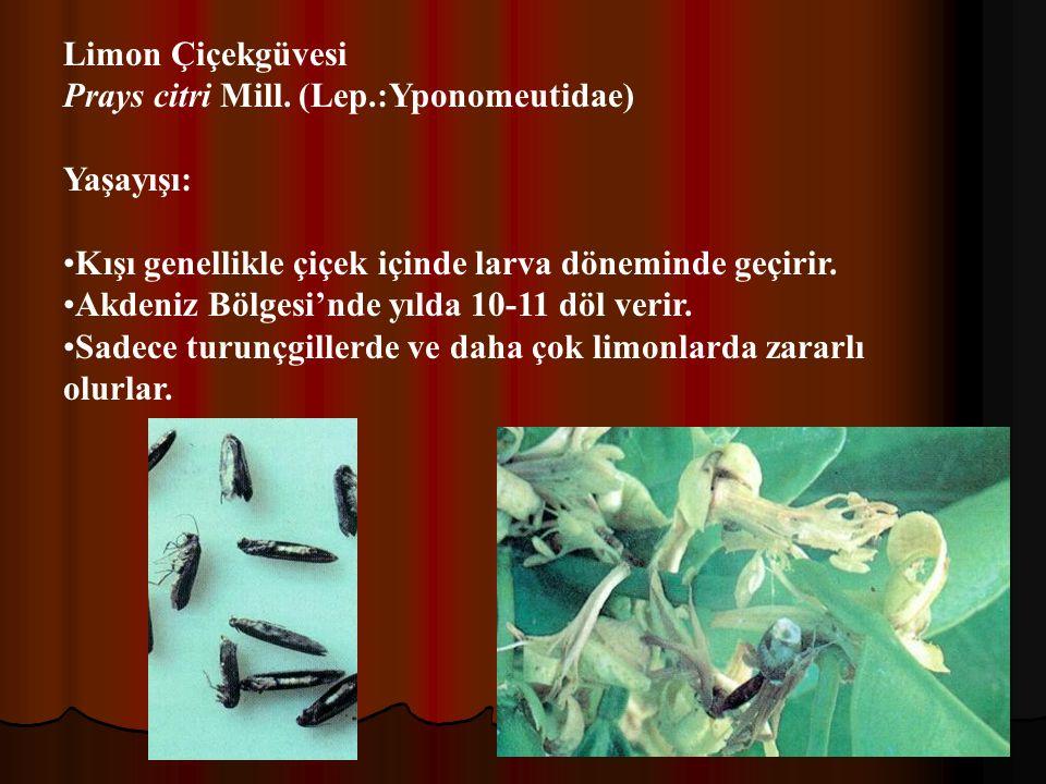 Limon Çiçekgüvesi Prays citri Mill. (Lep.:Yponomeutidae) Yaşayışı: Kışı genellikle çiçek içinde larva döneminde geçirir.