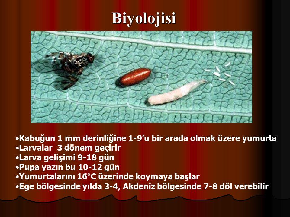 Biyolojisi Kabuğun 1 mm derinliğine 1-9'u bir arada olmak üzere yumurta. Larvalar 3 dönem geçirir.