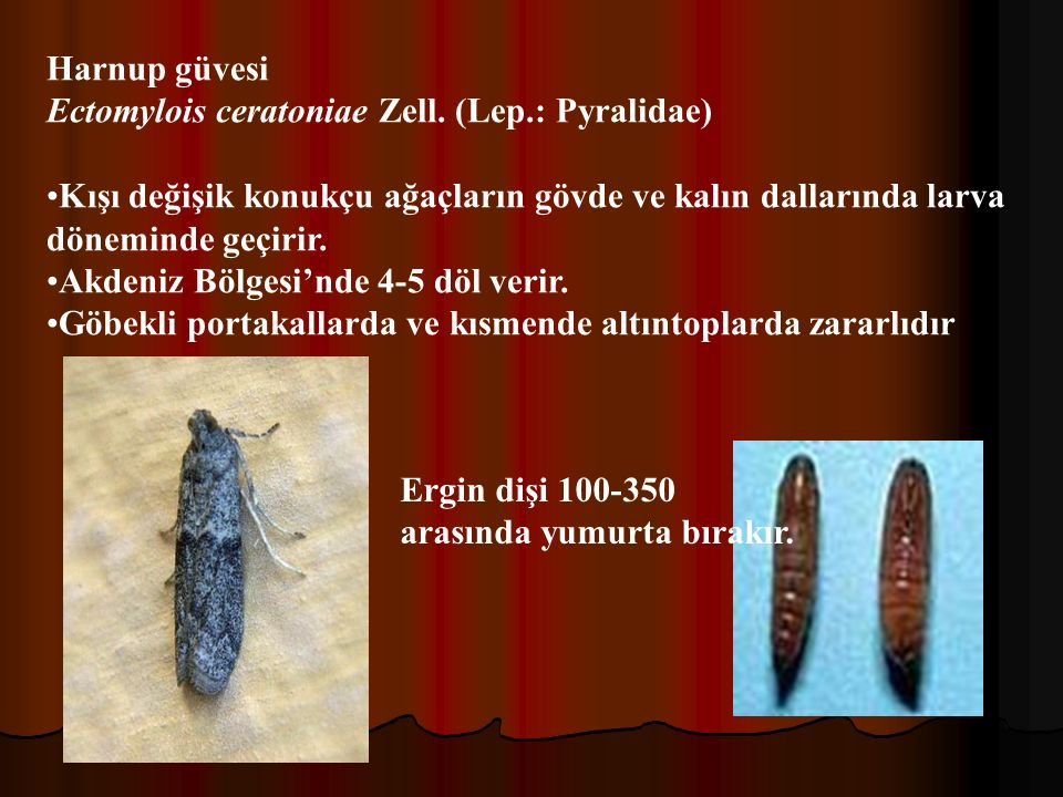 Harnup güvesi Ectomylois ceratoniae Zell. (Lep.: Pyralidae) Kışı değişik konukçu ağaçların gövde ve kalın dallarında larva döneminde geçirir.