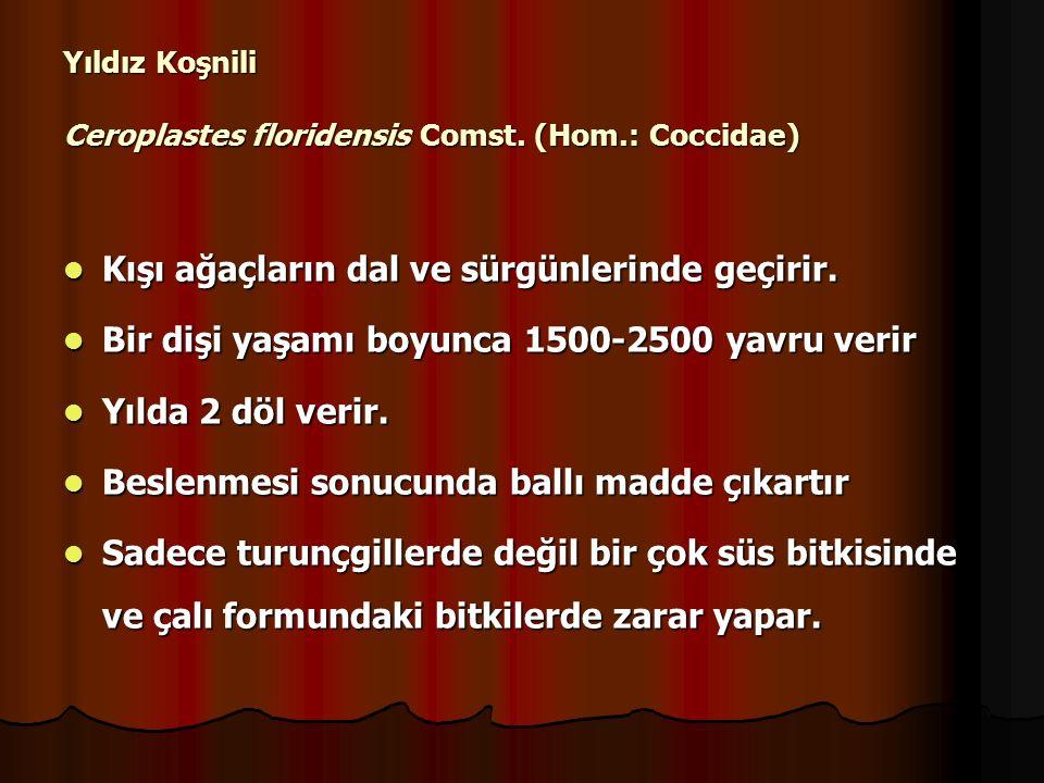 Yıldız Koşnili Ceroplastes floridensis Comst. (Hom.: Coccidae)
