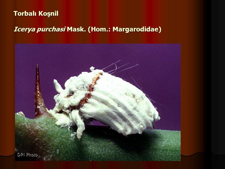 Torbalı Koşnil Icerya purchasi Mask. (Hom.: Margarodidae)
