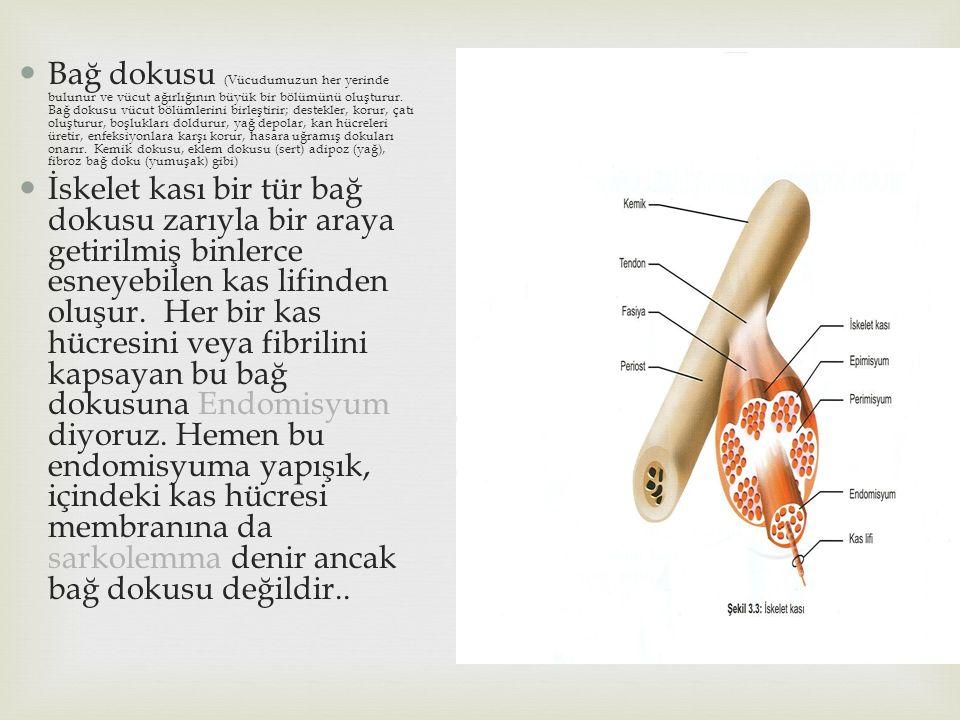 Bağ dokusu (Vücudumuzun her yerinde bulunur ve vücut ağırlığının büyük bir bölümünü oluşturur. Bağ dokusu vücut bölümlerini birleştirir; destekler, korur, çatı oluşturur, boşlukları doldurur, yağ depolar, kan hücreleri üretir, enfeksiyonlara karşı korur, hasara uğramış dokuları onarır. Kemik dokusu, eklem dokusu (sert) adipoz (yağ), fibroz bağ doku (yumuşak) gibi)