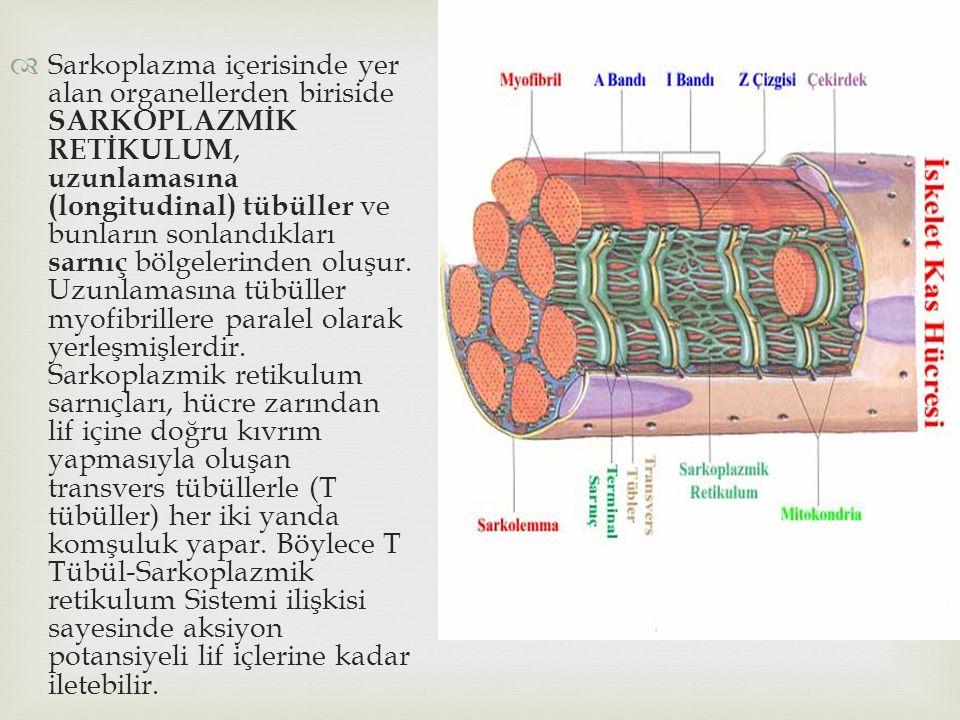Sarkoplazma içerisinde yer alan organellerden biriside SARKOPLAZMİK RETİKULUM, uzunlamasına (longitudinal) tübüller ve bunların sonlandıkları sarnıç bölgelerinden oluşur.