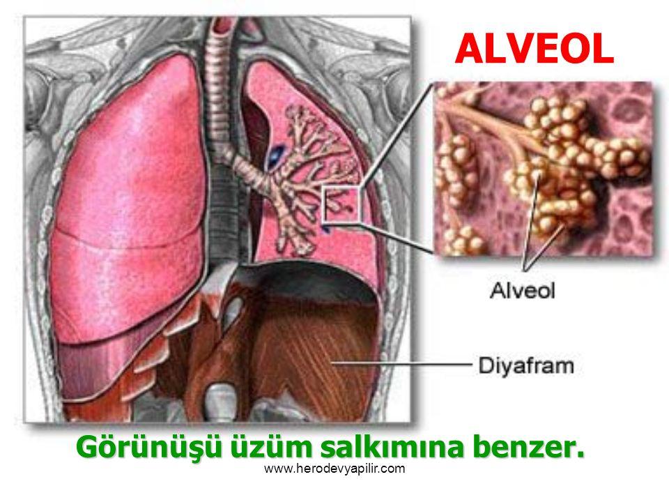 ALVEOL Görünüşü üzüm salkımına benzer. www.herodevyapilir.com