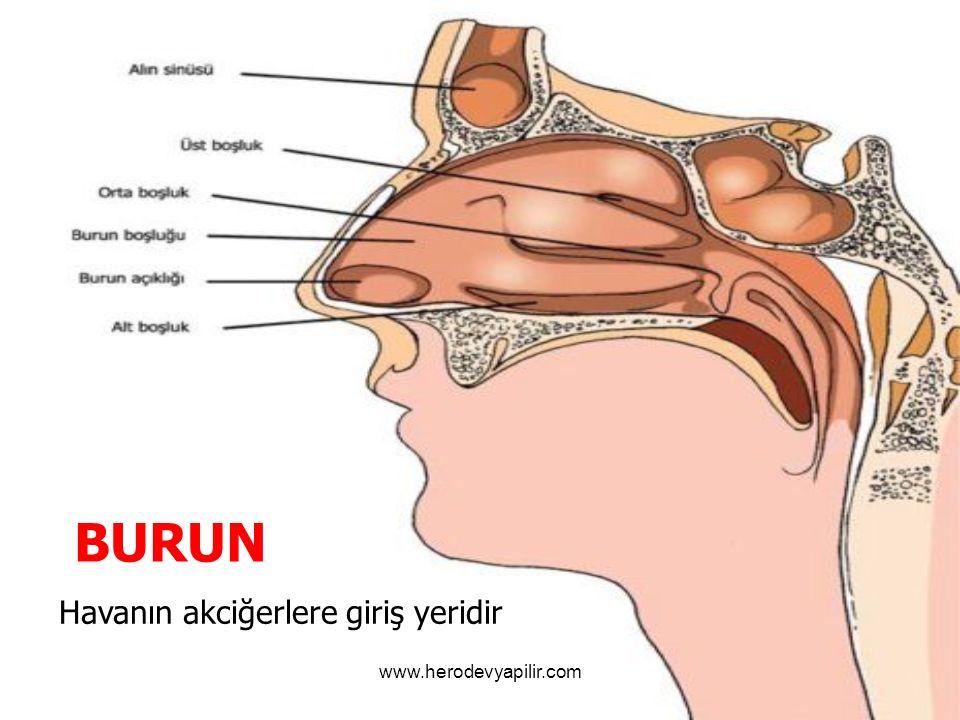 BURUN Havanın akciğerlere giriş yeridir www.herodevyapilir.com