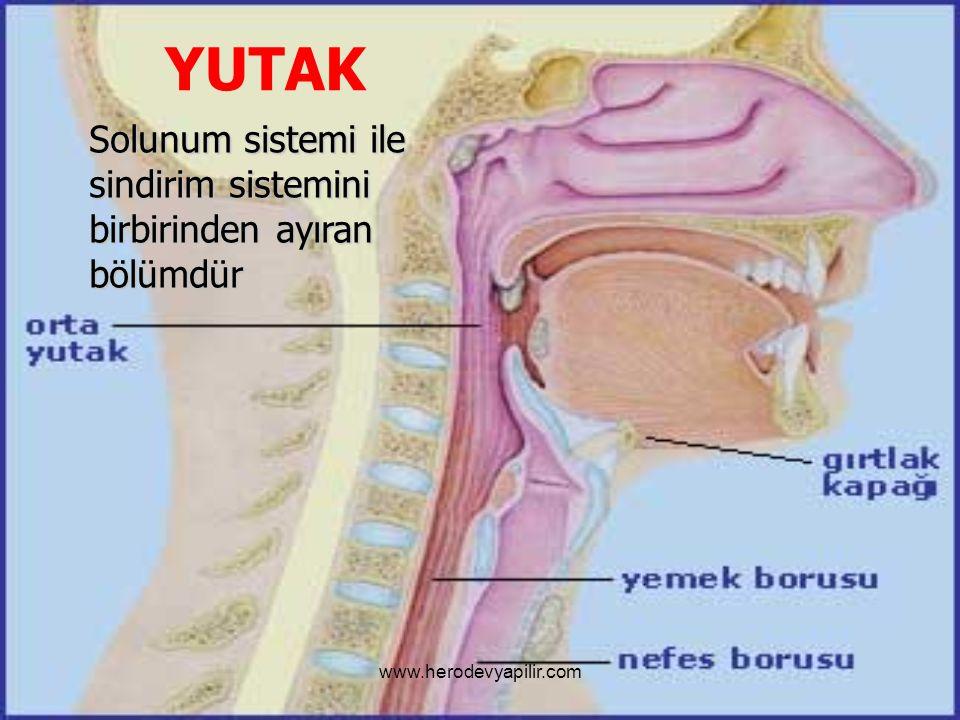 YUTAK Solunum sistemi ile sindirim sistemini birbirinden ayıran bölümdür www.herodevyapilir.com