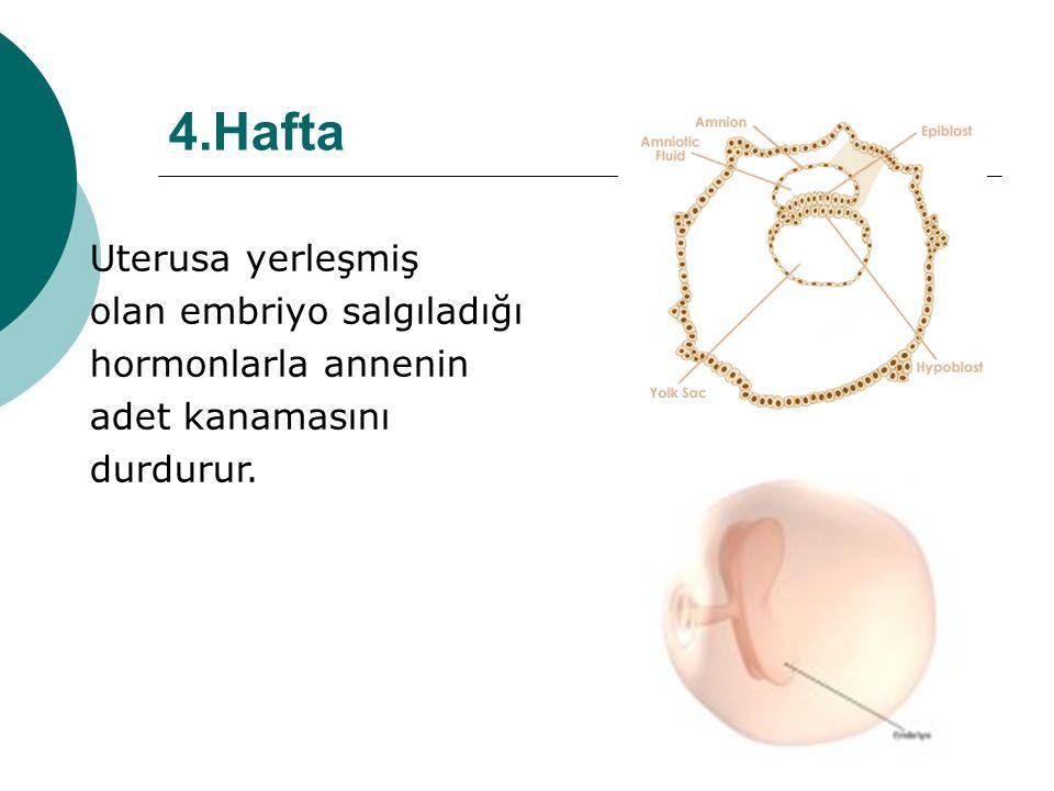 4.Hafta Uterusa yerleşmiş olan embriyo salgıladığı hormonlarla annenin