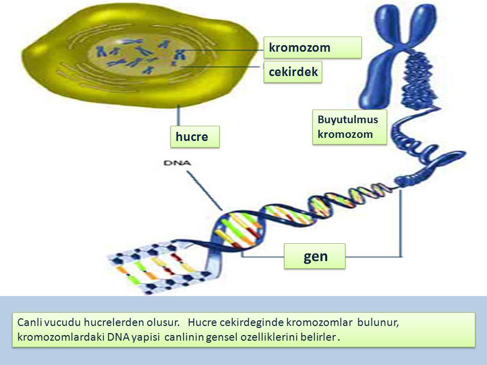 gen kromozom cekirdek hucre Buyutulmus kromozom