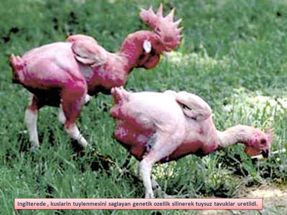 Ingilterede , kuslarin tuylenmesini saglayan genetik ozellik silinerek tuysuz tavuklar uretildi.