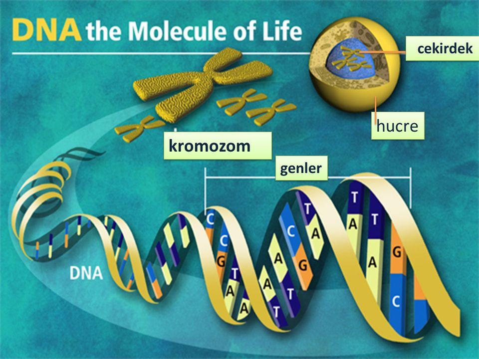 cekirdek hucre kromozom genler