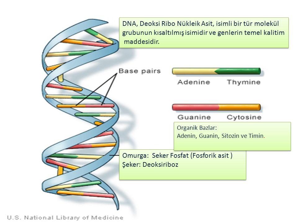 DNA, Deoksi Ribo Nükleik Asit, isimli bir tür molekül