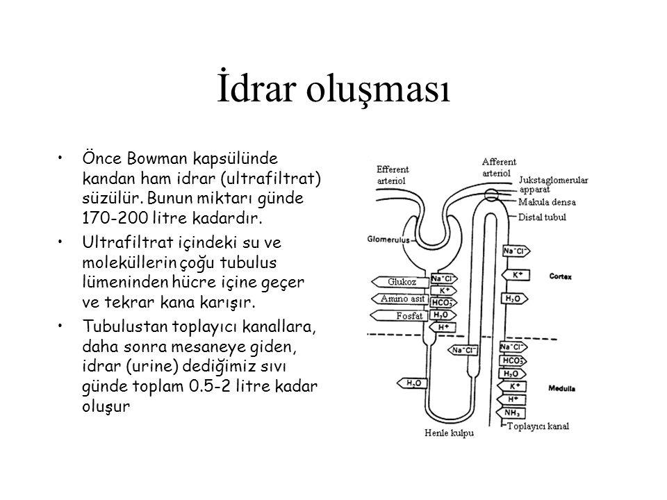 İdrar oluşması Önce Bowman kapsülünde kandan ham idrar (ultrafiltrat) süzülür. Bunun miktarı günde 170-200 litre kadardır.