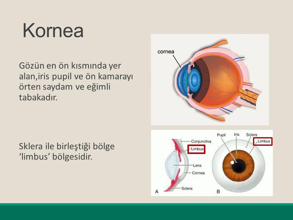 Kornea Gözün en ön kısmında yer alan,iris pupil ve ön kamarayı örten saydam ve eğimli tabakadır.