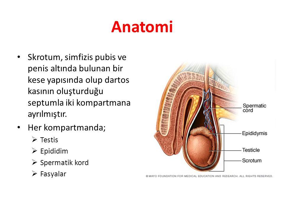 Anatomi Skrotum, simfizis pubis ve penis altında bulunan bir kese yapısında olup dartos kasının oluşturduğu septumla iki kompartmana ayrılmıştır.