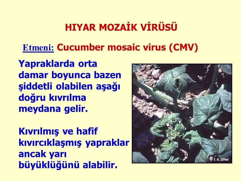 HIYAR MOZAİK VİRÜSÜ Etmeni: Cucumber mosaic virus (CMV) Yapraklarda orta damar boyunca bazen şiddetli olabilen aşağı doğru kıvrılma meydana gelir.