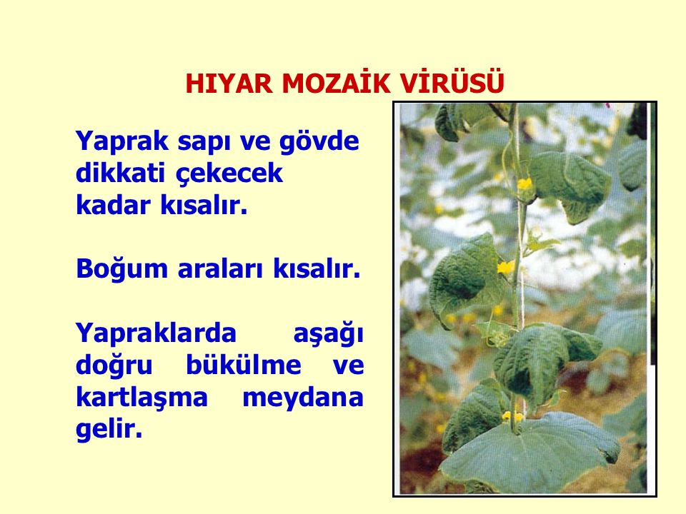 HIYAR MOZAİK VİRÜSÜ Yaprak sapı ve gövde dikkati çekecek kadar kısalır. Boğum araları kısalır.