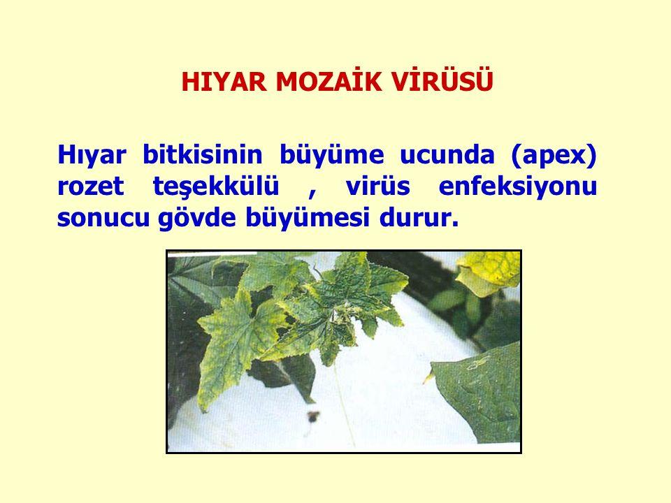 HIYAR MOZAİK VİRÜSÜ Hıyar bitkisinin büyüme ucunda (apex) rozet teşekkülü , virüs enfeksiyonu sonucu gövde büyümesi durur.
