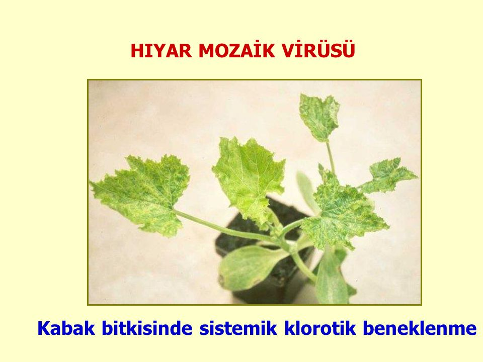 HIYAR MOZAİK VİRÜSÜ Kabak bitkisinde sistemik klorotik beneklenme