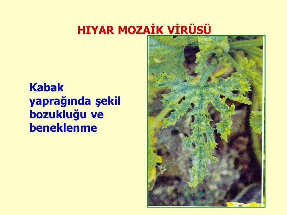 HIYAR MOZAİK VİRÜSÜ Kabak yaprağında şekil bozukluğu ve beneklenme
