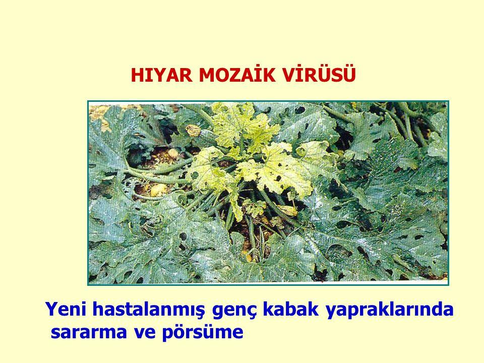 HIYAR MOZAİK VİRÜSÜ Yeni hastalanmış genç kabak yapraklarında sararma ve pörsüme