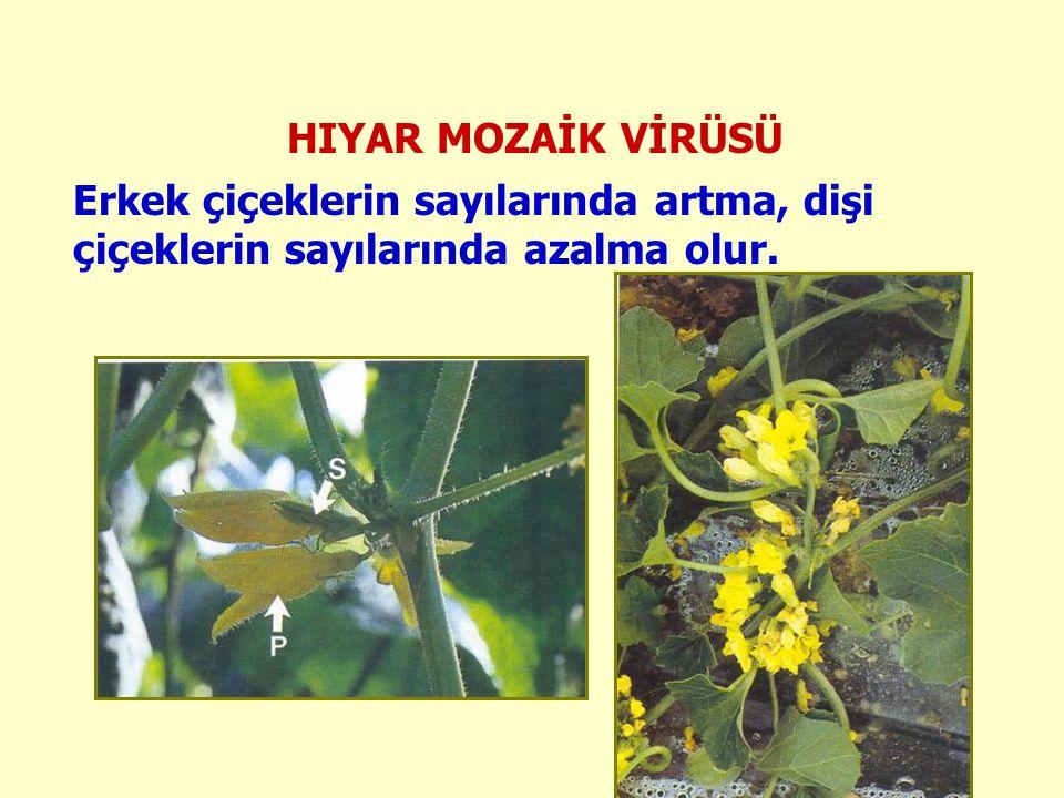 HIYAR MOZAİK VİRÜSÜ Erkek çiçeklerin sayılarında artma, dişi çiçeklerin sayılarında azalma olur.