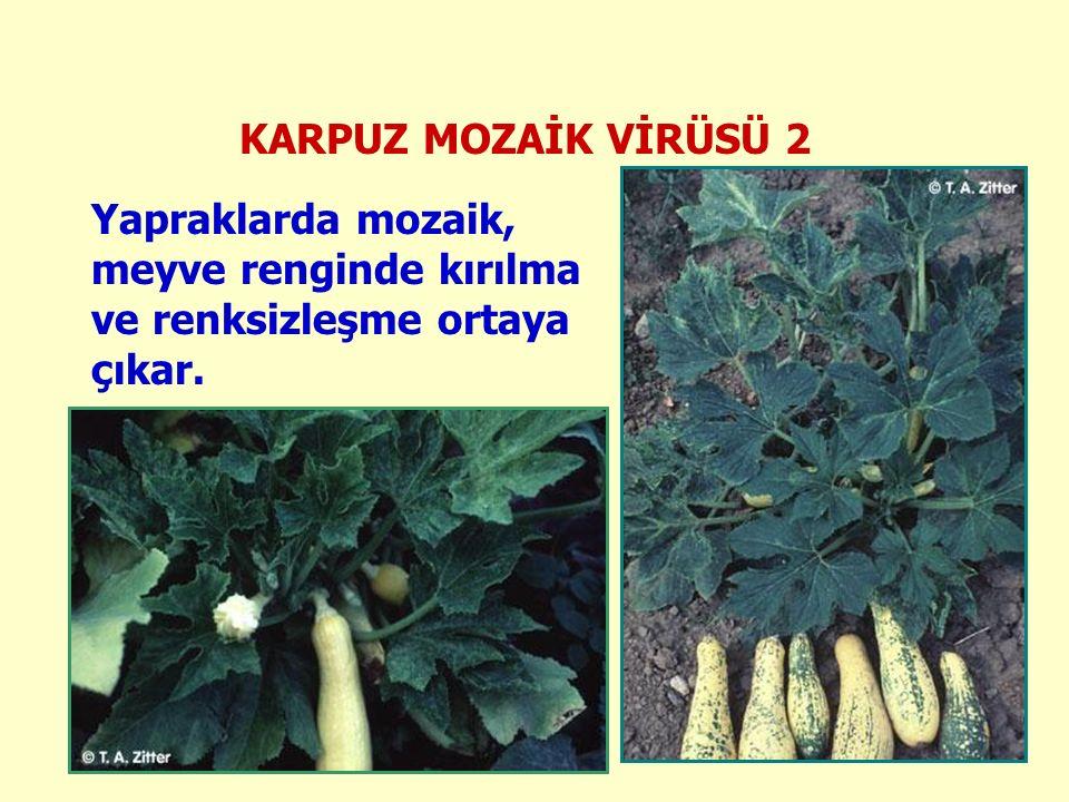 KARPUZ MOZAİK VİRÜSÜ 2 Yapraklarda mozaik, meyve renginde kırılma ve renksizleşme ortaya çıkar.