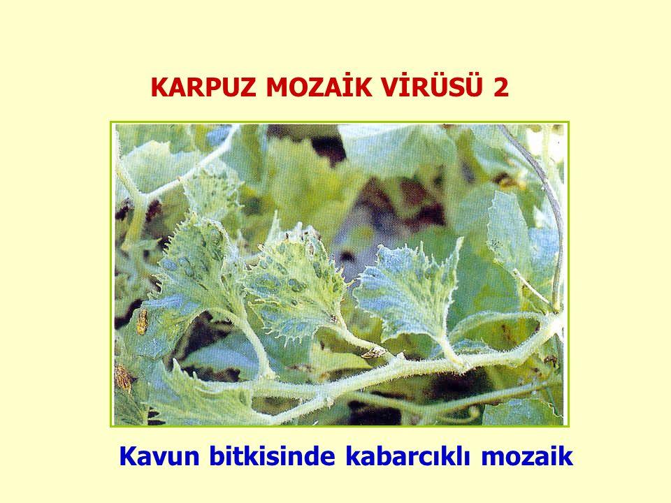 KARPUZ MOZAİK VİRÜSÜ 2 Kavun bitkisinde kabarcıklı mozaik