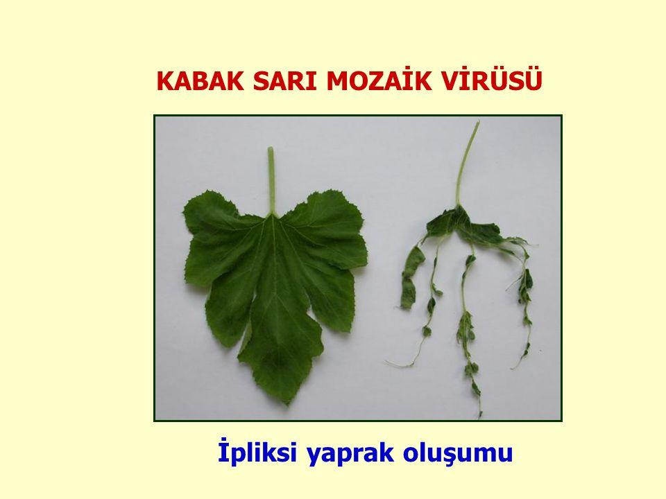 KABAK SARI MOZAİK VİRÜSÜ