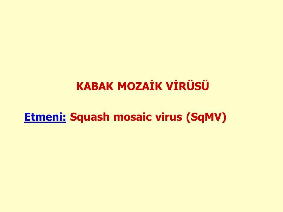 KABAK MOZAİK VİRÜSÜ Etmeni: Squash mosaic virus (SqMV)