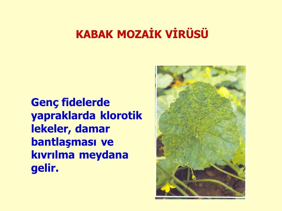 KABAK MOZAİK VİRÜSÜ Genç fidelerde yapraklarda klorotik lekeler, damar bantlaşması ve kıvrılma meydana gelir.