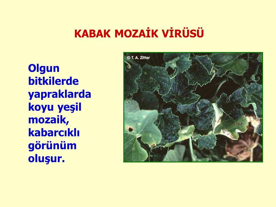 KABAK MOZAİK VİRÜSÜ Olgun bitkilerde yapraklarda koyu yeşil mozaik, kabarcıklı görünüm oluşur.