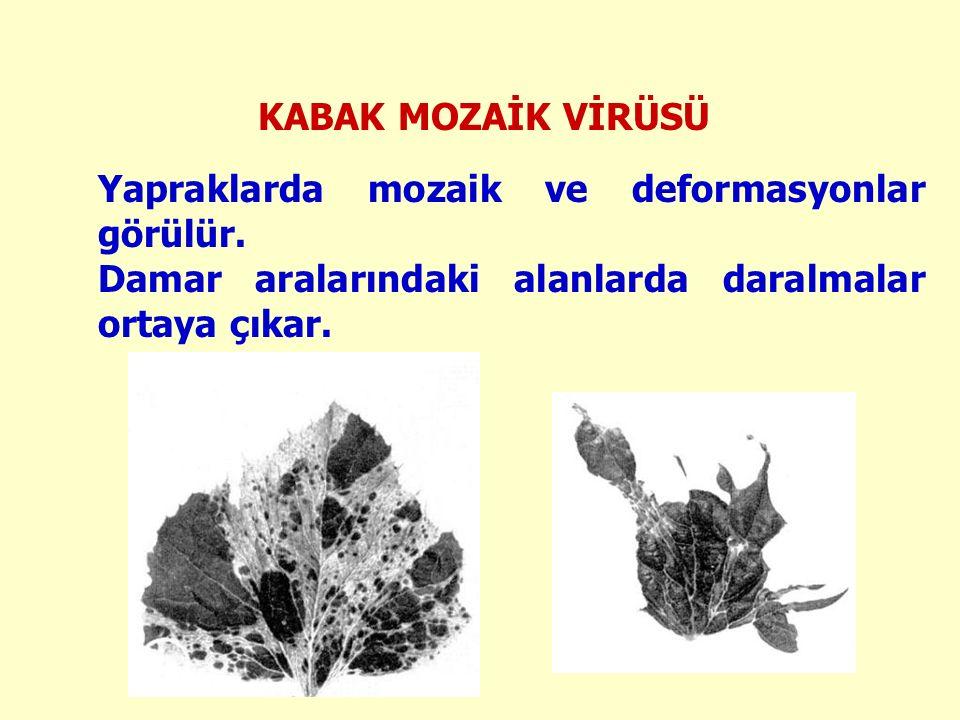KABAK MOZAİK VİRÜSÜ Yapraklarda mozaik ve deformasyonlar görülür.