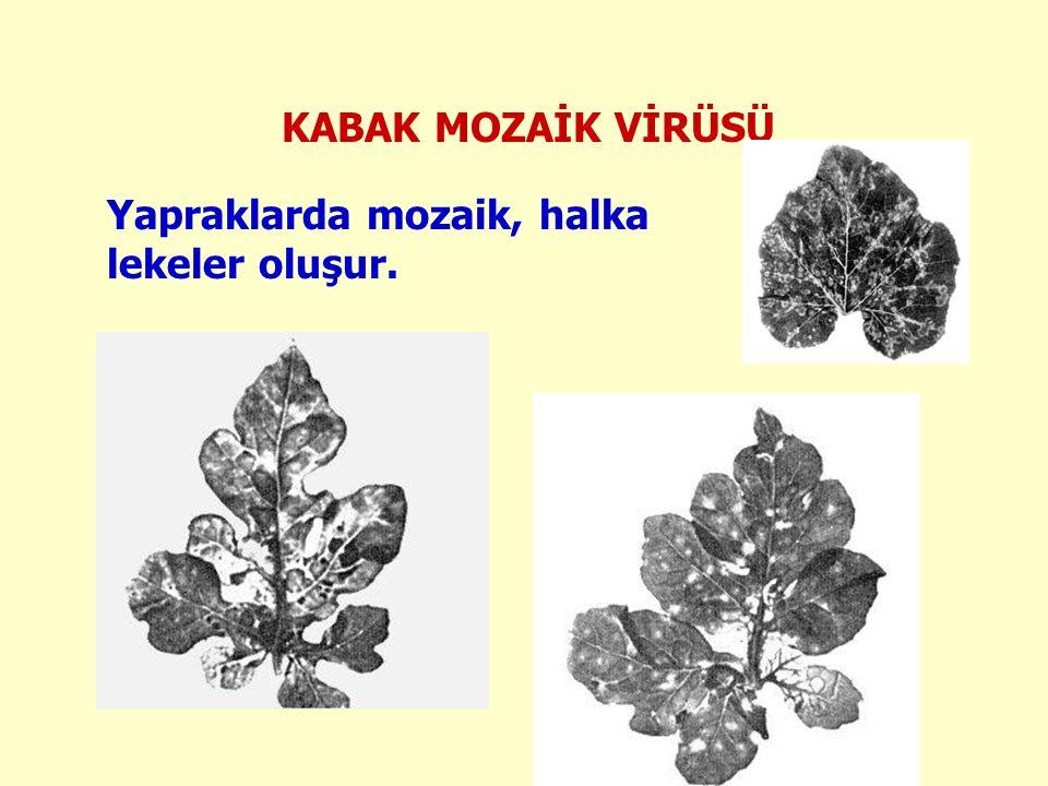 KABAK MOZAİK VİRÜSÜ Yapraklarda mozaik, halka lekeler oluşur.