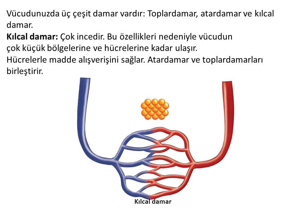 Kılcal damar: Çok incedir. Bu özellikleri nedeniyle vücudun