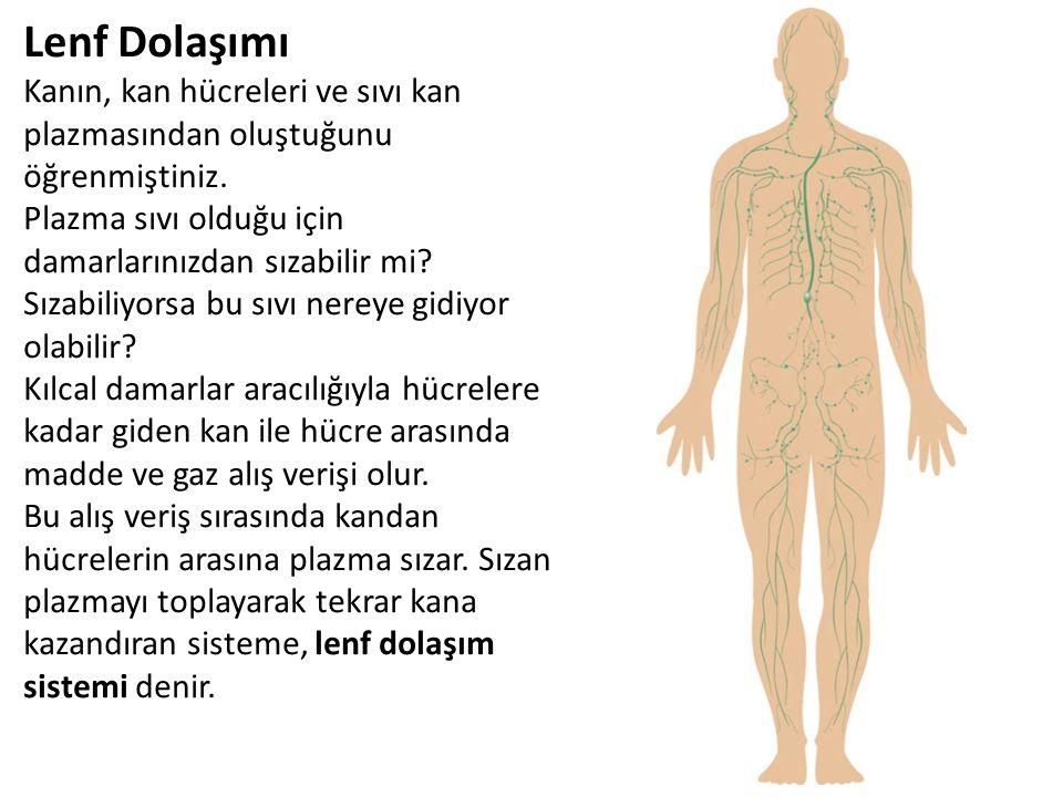 Lenf Dolaşımı Kanın, kan hücreleri ve sıvı kan plazmasından oluştuğunu öğrenmiştiniz. Plazma sıvı olduğu için damarlarınızdan sızabilir mi