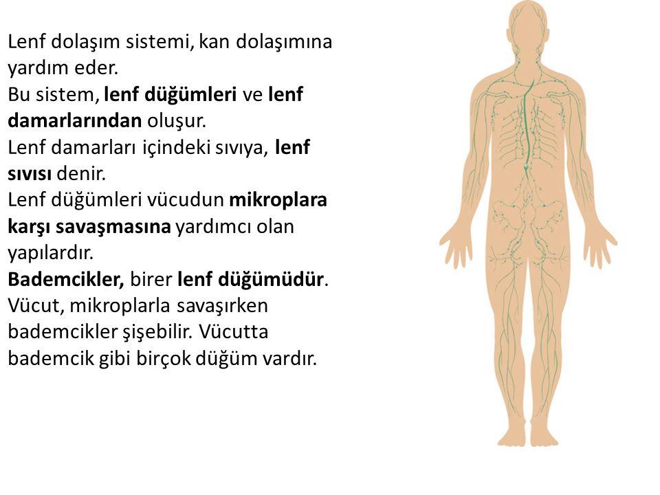 Lenf dolaşım sistemi, kan dolaşımına yardım eder.