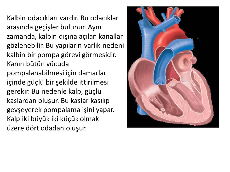 Kalbin odacıkları vardır. Bu odacıklar arasında geçişler bulunur