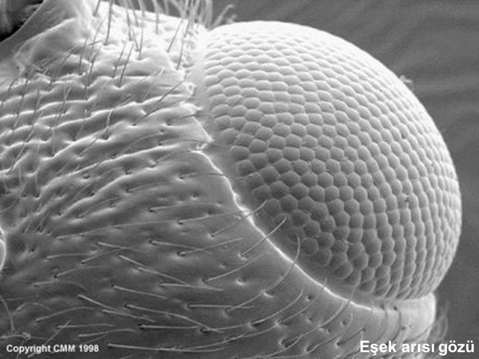 Eşek arısı gözü