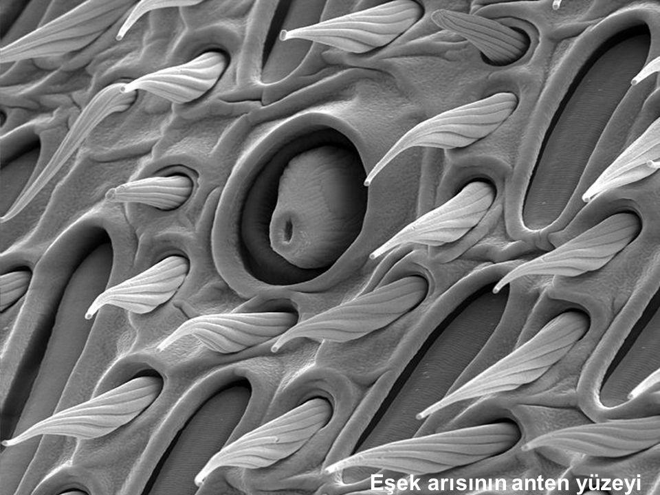 Eşek arısının anten yüzeyi