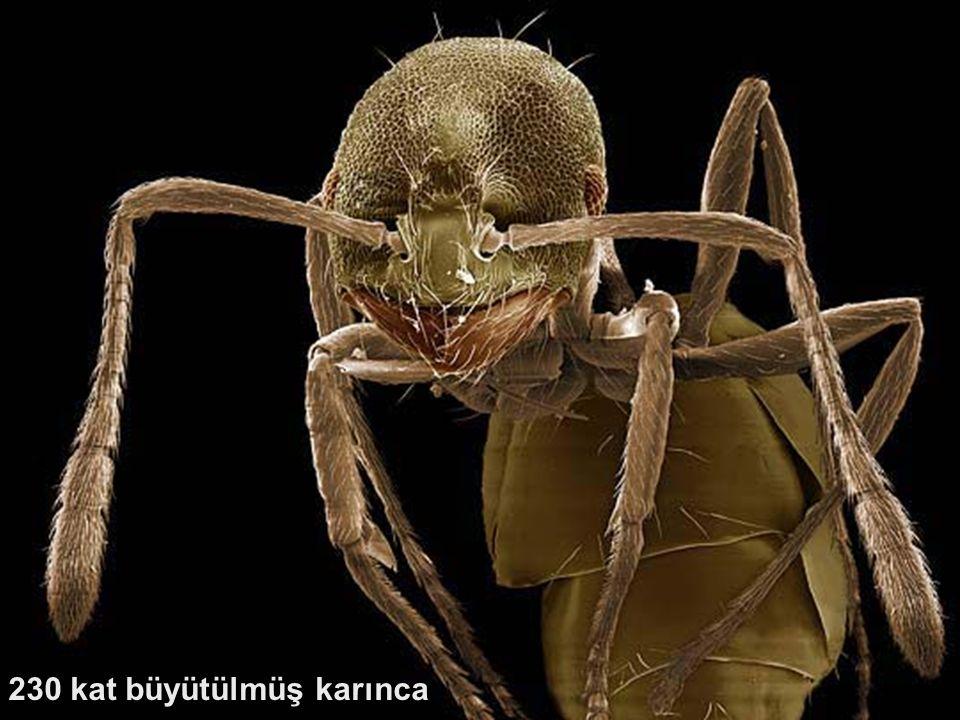 230 kat büyütülmüş karınca