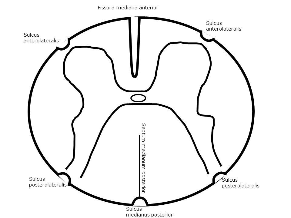 Fissura mediana anterior