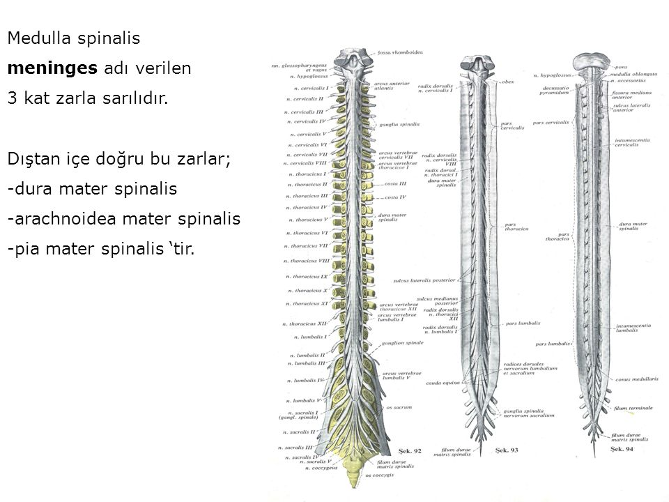 Medulla spinalis meninges adı verilen. 3 kat zarla sarılıdır. Dıştan içe doğru bu zarlar; -dura mater spinalis.