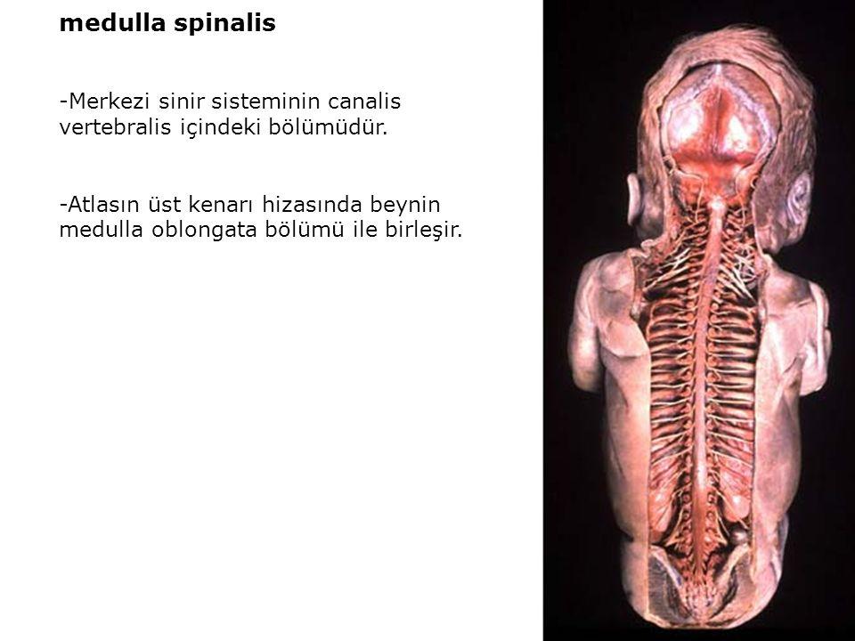 medulla spinalis -Merkezi sinir sisteminin canalis vertebralis içindeki bölümüdür.