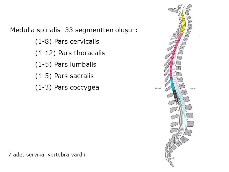 Medulla spinalis 33 segmentten oluşur: (1-8) Pars cervicalis